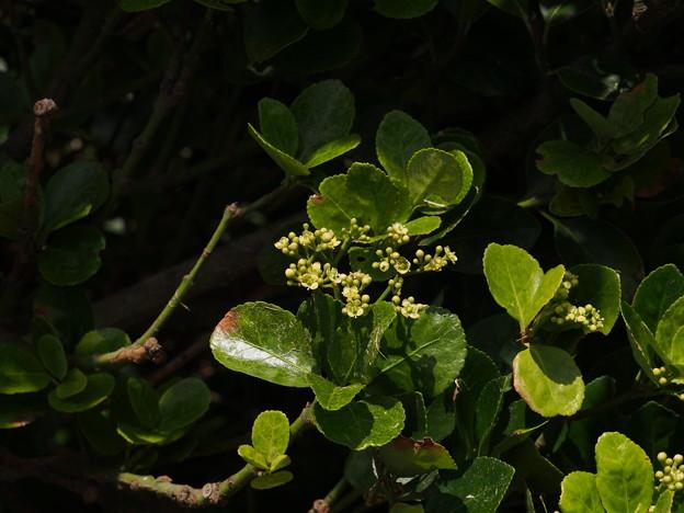 マサキ Euonymus japonicus Thunb. P6309294