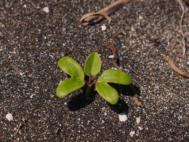 グンバイヒルガオ Ipomoea pes-caprae (L.) Sweet P6309393