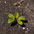 Photos: グンバイヒルガオ Ipomoea pes-caprae (L.) Sweet P6309393