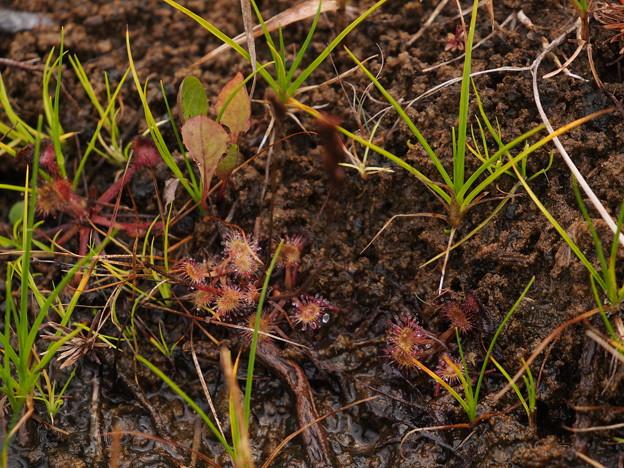 モウセンゴケ Drosera rotundifolia L. P8218249