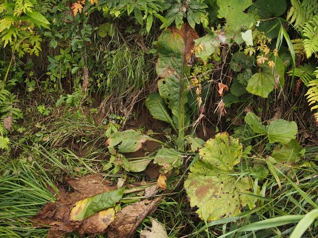 ミズバショウ Lysichiton camtschatcense (L.) Schott P8228325