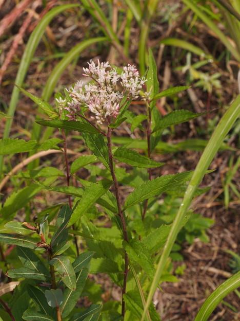 オオヒヨドリバナ Eupatorium makinoi T.Kawahara et Yahara var. oppositifolium (Koidz.) T.Kawahara et Yahara