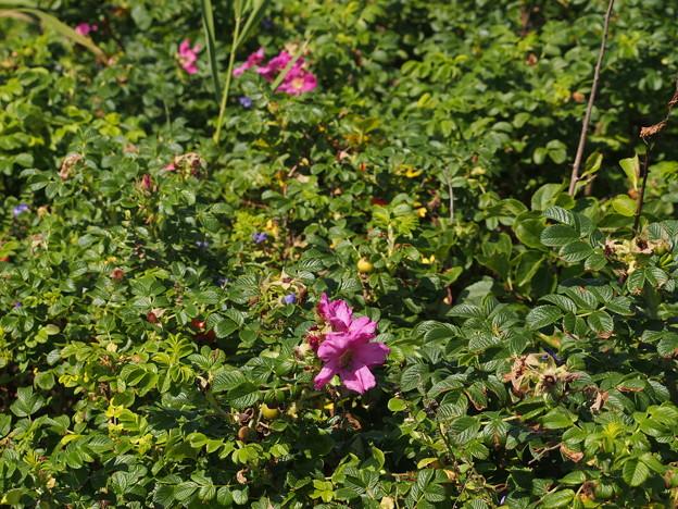 ハマナス Rosa rugosa Thunb. P8238498