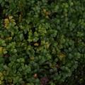 Photos: サイゴクホングウシダ Osmolindsaea japonica (Baker) Lehtonen et Christenh. PB091197