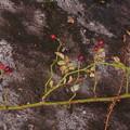 Photos: テリハノイバラ Rosa luciae Rochebr. et Franch. ex Crèp. PB091206