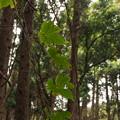 Photos: カエデドコロ Dioscorea quinquelobata Thunb. PB091210