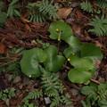 Photos: ツワブキ Farfugium japonicum (L.) Kitam. PB091211