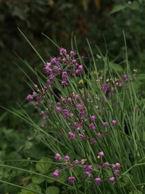 ラッキョウ Allium chinense G.Don PB091225