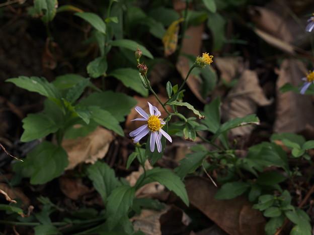 コヨメナ? Aster indicus L. ? PB091249
