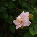 サキシマフヨウ(八重咲き) P1172157