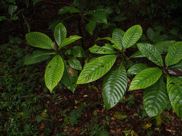 タカサゴシラタマ P1172272