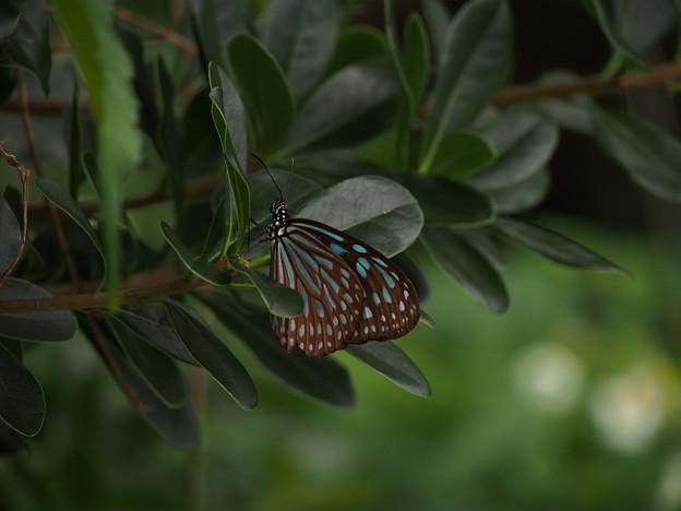 リュウキュウアサギマダラ P1182596