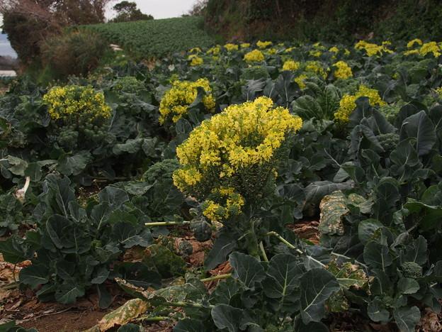 ブロッコリーの花 P2223786