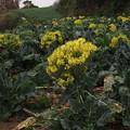 Photos: ブロッコリーの花 P2223786
