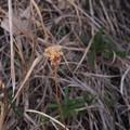 タマムラサキ 花茎 P2233869