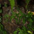 Photos: ハコネギク P8120137