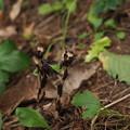 アキノギンリョウソウ(ギンリョウソウモドキ)PA075929