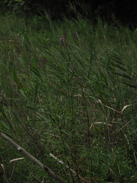 ミソハギ P9164887