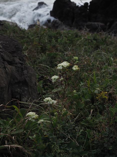 オトコエシ P9195472