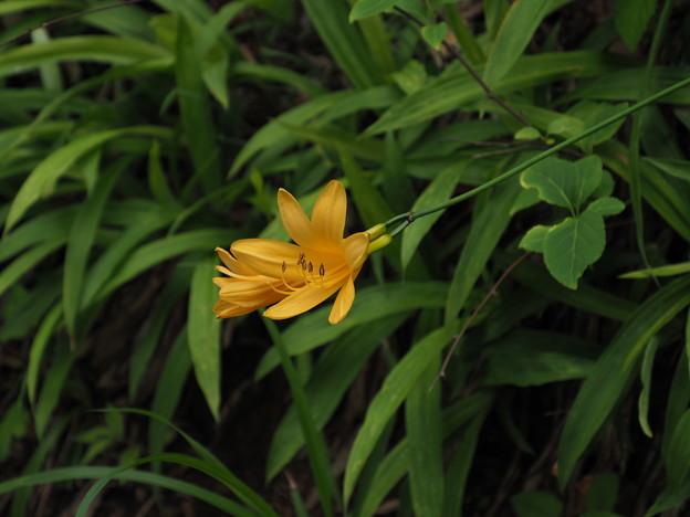 ゼンテイカ(ニッコウキスゲ)P6240965