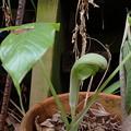 ムサシアブミ(素心花) P3301346