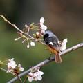 写真: 背なの桜が泣いてるぜ