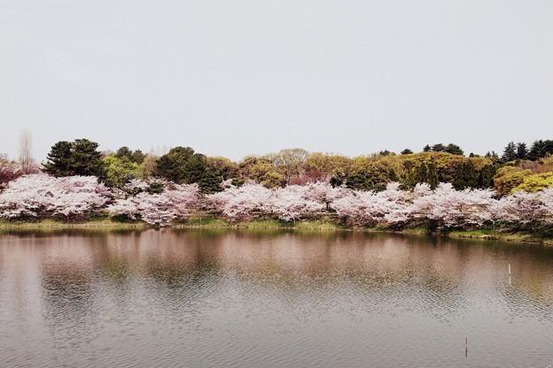桜 大池 大加工