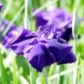 写真: 青く咲くのは。。