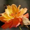 写真: Honey Bee