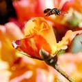 写真: Worker Bee