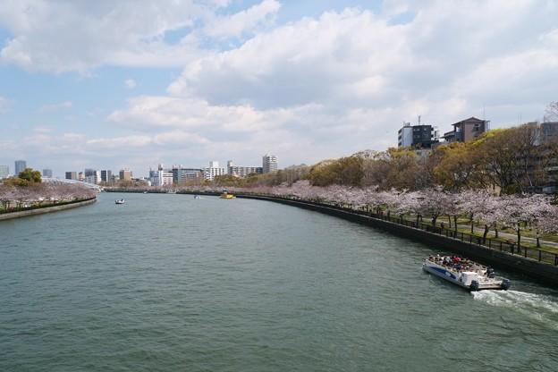 今日現在の大川桜