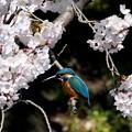 Photos: 桜カワセミ