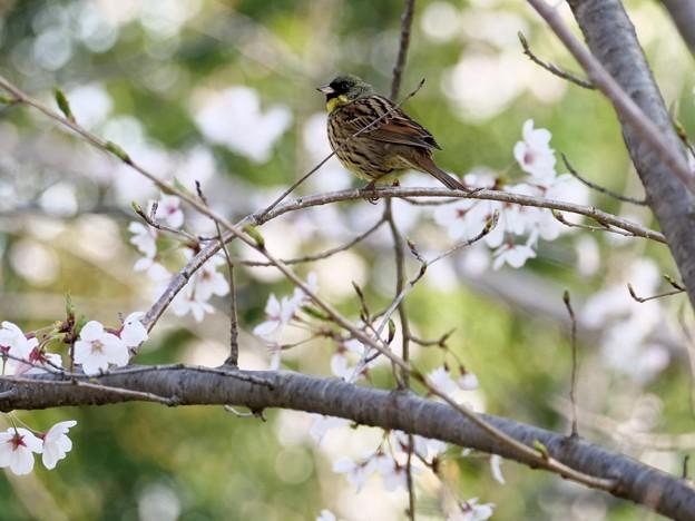 Photos: 桜王子