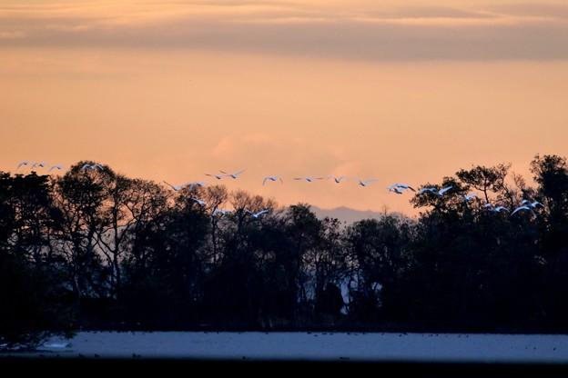 白鳥のスミズミ