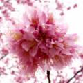 丘の上の桜バカ