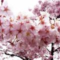 Photos: 雨降桜