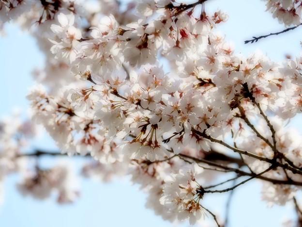 Photos: 春は途絶えない