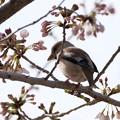 Photos: 親分桜