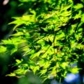 Photos: 黒青紅葉