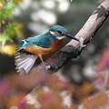 Photos: 紅葉鳥