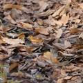Photos: 枯れ葉に隠せ