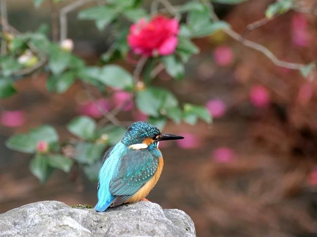 Photos: 山茶花の宿