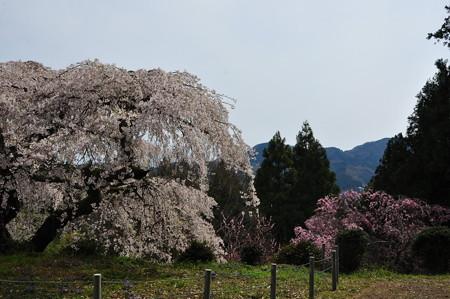 瀧蔵神社の権現桜7