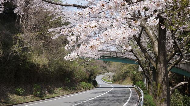 DSC02028箱根ターンパイク桜