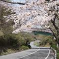 写真: DSC02028箱根ターンパイク桜