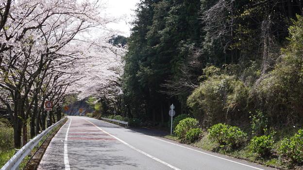 DSC02032箱根ターンパイク桜