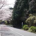 写真: DSC02032箱根ターンパイク桜