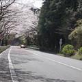 写真: DSC02033箱根ターンパイク桜