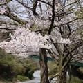 写真: DSC02038箱根ターンパイク桜