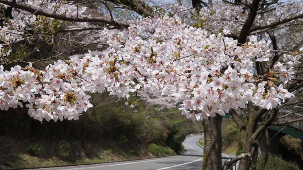 写真: DSC02041箱根ターンパイク桜